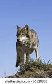 Male Wolf stands atop a rocky ledge for vantage