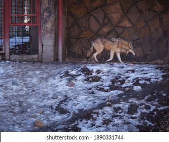 male wolf in the winter zoo aviary