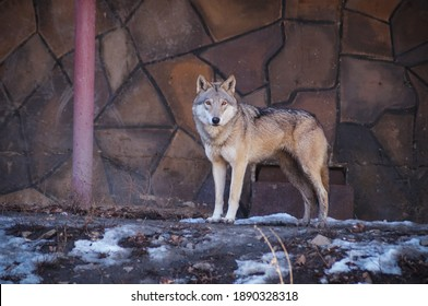 male wolf in the zoo aviary