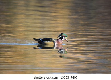 Male wood duck at park