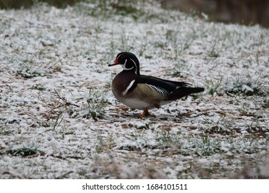Male wood duck with snow