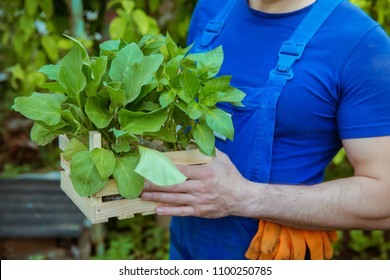 male worker with a box of seedlings in his hands