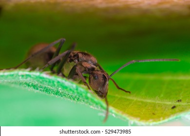 Male Worker Golden Weaver Ant (Polyrhachis dives) with three Ocelli, the simple eyes on its head, crawling on a leaf