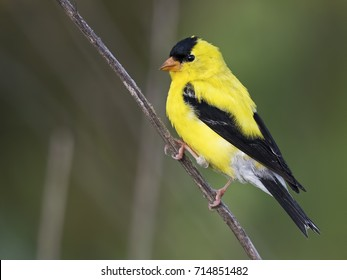 Male Yellow Goldfinch