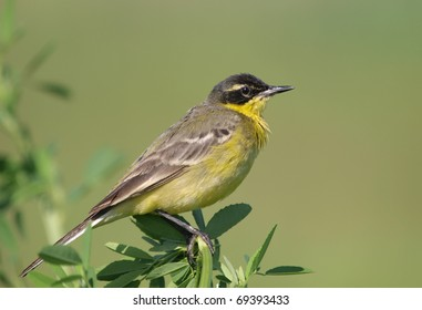 Male Yellow Wagtail (Motacilla flava) perching on a bush in the middle of its nesting territory.