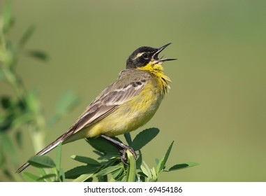 A male Yellow Wagtail (Motacilla flava) singing.