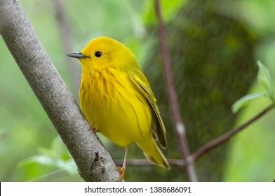 Male Yellow Warbler at Magee Marsh