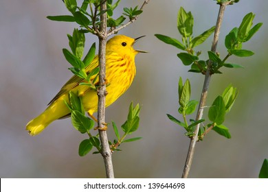 Male Yellow Warbler Perched On Branch Singing