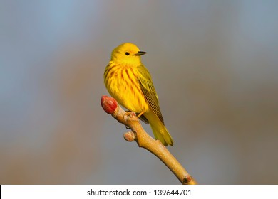 Male Yellow Warbler Perched On Branch