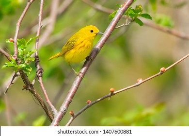 Male Yellow Warbler perched on a branch. Ashbridges Bay Park, Toronto, Ontario, Canada.
