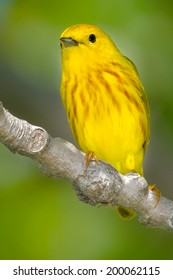 Male Yellow Warbler perched on a branch.