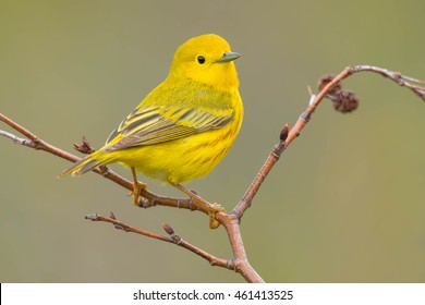 A male Yellow Warbler is perched on a branch. Gros Morne National Park, Newfound and Labrador, Canada.