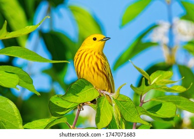 Male Yellow Warbler perched in vibrant green foliage against deep blue sky.