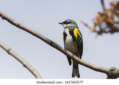 Male yellow-rumped warbler (Setophaga coronata) in spring