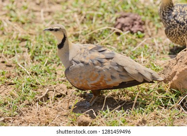 Male Yellow-throated sandgrouse (Pterocles gutturalis)