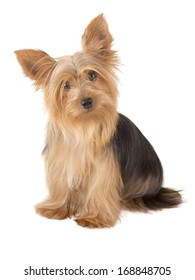 Male Yorkshire Terrier dog, one year old, isolated over white