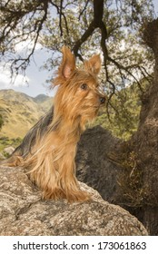 Male Yorkshire Terrier dog, one year old, sit on a stone