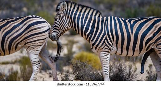 A male zebra following female zebra in a game reserve