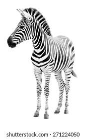 Male zebra isolated on white background
