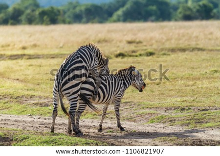 Male Zebra Mating Female Photoed Kenya Stock Photo Edit Now