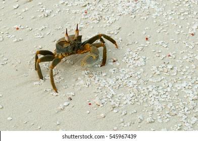 Maledives beach crab