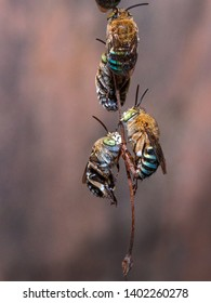 Males of blue-banded bee cling to plant stem
