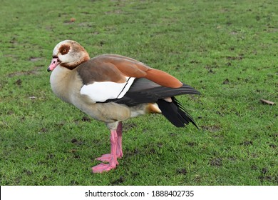Males and females look alike both waterbirds having chestnut brown patches surrounding their eyes Their legs and feet are pinkish turning redder when in breeding condition