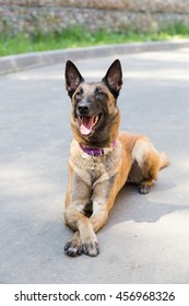 Malinois Belgian Shepherd dog lying on the pavement