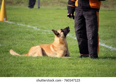 the Malinois Belgian Shepherd Dog watches the man in a suit and attacks if he moves