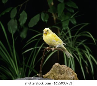 Malinois Canary or Song Canary, serinus canaria