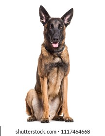 Malinois dog, 22 months old, sitting against white background