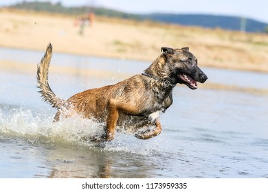 Malinois dog jumping  at water