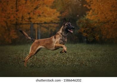 malinois dog jumps on nature in autumn