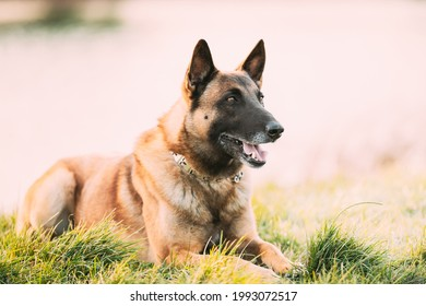 Malinois Dog Outdoors In Grass. Belgian Sheepdog Are Active, Intelligent, Friendly, Protective, Alert And Hard-working. Shepherd, Belgium, Chien De Berger Belge Dog.