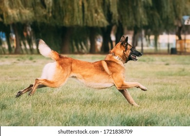 Malinois Dog Play Jumping Running Outdoor In Park. Belgian Sheepdog Are Active, Intelligent, Friendly, Protective, Alert And Hard-working. Belgium, Chien De Berger Belge Dog.
