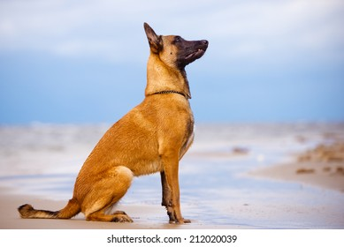 malinois dog portrait