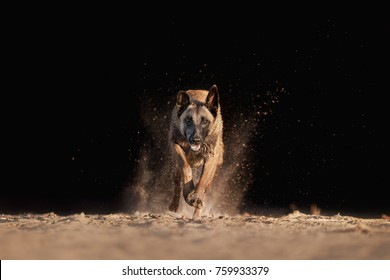 the malinois dog runs forward against a dark background. sport with a dog