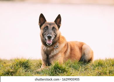 Malinois Dog Sit Outdoors In Grass. Belgian Sheepdog Are Active, Intelligent, Friendly, Protective, Alert And Hard-working. Shepherd, Belgium, Chien De Berger Belge Dog.