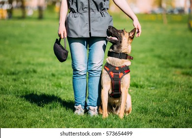 Malinois Dog Sit Outdoors In Green Summer Grass Near Owner At Training. Well-raised and trained Belgian Malinois are usually active, intelligent, friendly, protective, alert and hard-working.