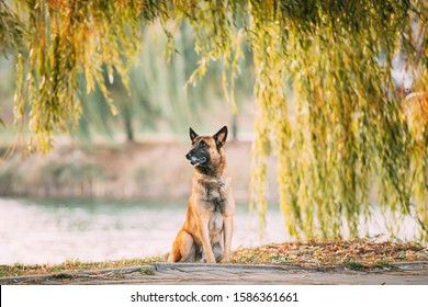 Malinois Dog Sitting Near Lake Under Tree Branches. Belgian Sheepdog Are Active, Intelligent, Friendly, Protective, Alert And Hard-working. Shepherd, Belgium, Chien De Berger Belge Dog.