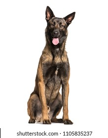 Malinois dog sitting and panting, isolated