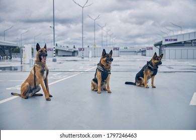 Malinois dog and two German Shepherd dogs sitting on the ground in airfield under cloudy sky