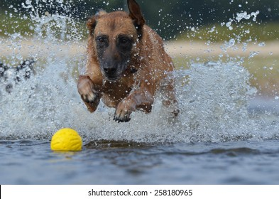 Malinois in his element