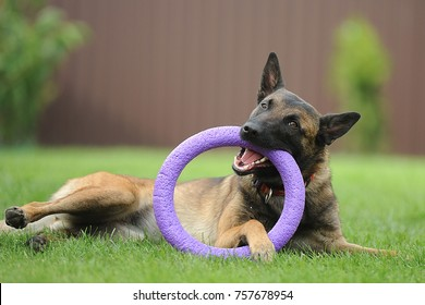 Malinois plays with a puller