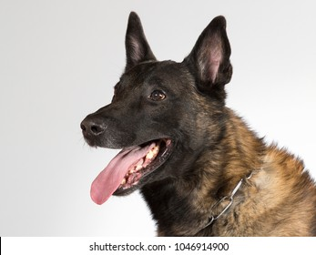 Malinois portrait. Belgian shepherd dog in a studio with white background.