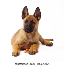Malinois Puppy Dog 1 months old portrait Belgian sheepdog isolated in white