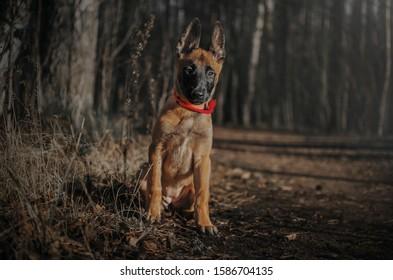 Malinois puppy sits on an autumn walk