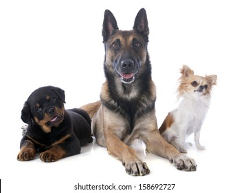 malinois, rottweiler and chihuahua on a white background