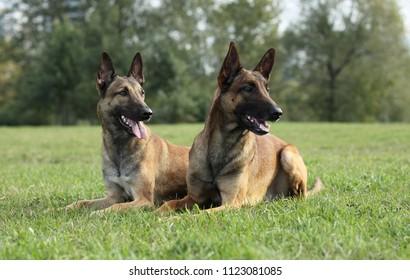 Тwo Malinois Shepherd dogs