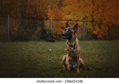 Malinois is sitting on a walk and waiting for a team